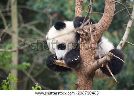 cute baby panda sleeping in a tree. - stock photo