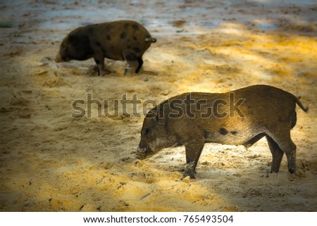 Cute Baby Pig Family Or Wild Boar Lovely On Sand And Beautiful Light Of Sunshine Morning