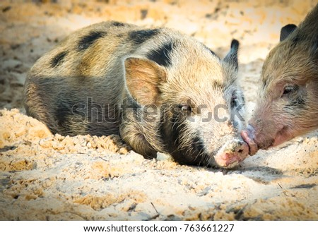 Cute Baby Pig Or Wild Boar Close Up Lovely On Sand And Beautiful Light Of Sunshine