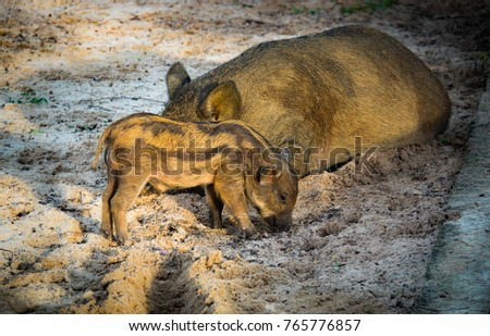 Cute Baby Pig Or Wild Boar Lovely Family On Sand And Beautiful Light Of Sunshine Morning