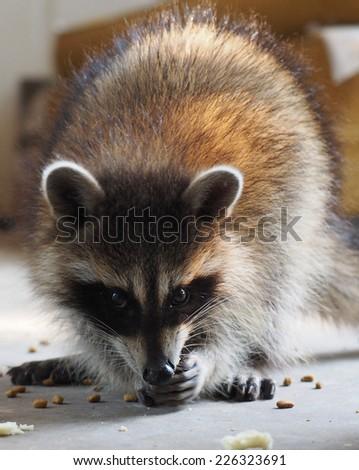 Cute Baby Raccoon - stock photo