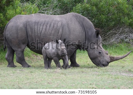 Cute baby rhinoceros with it's mother in the background - stock photo