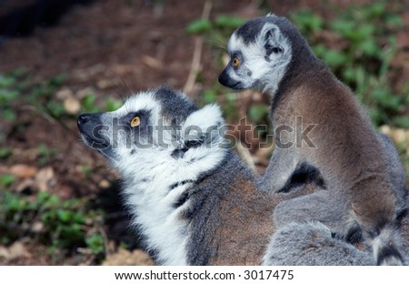 cute baby ring-tailed lemur on mothers back - stock photo