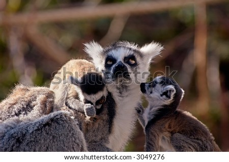 cute baby ring-tailed lemurs with their mother in the middle - stock photo