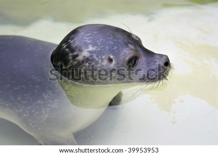 Cute Baby Seal in water