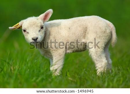 cute baby sheep - stock photo