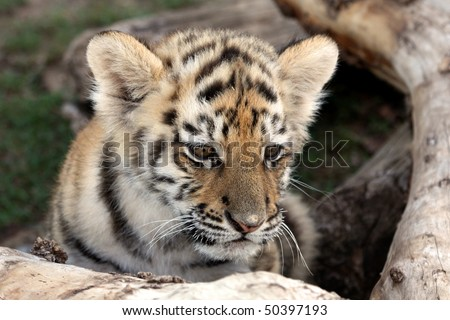 Cute baby siberian tiger hiding behind a tree log - stock photo