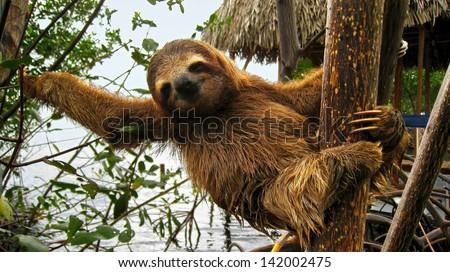Cute baby sloth on tree trunk, Costa Rica - stock photo