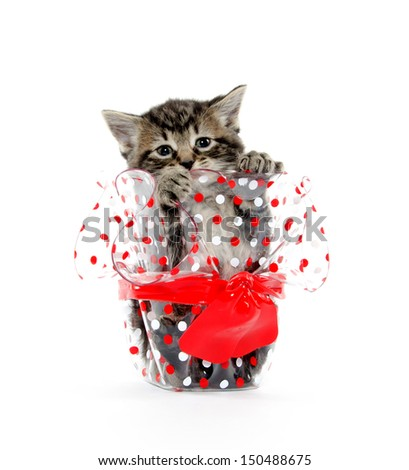 Cute baby tabby American shorthair inside of polka dot glass container on white background