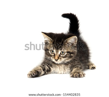 Cute baby tabby American shorthair kitten playing on white background