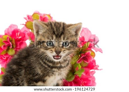 Cute baby tabby kitten and red flowers on white background