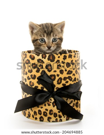 cute baby tabby kitten inside of animal print box on white background - stock photo
