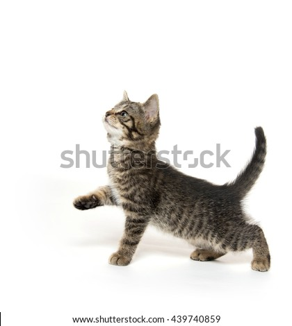 Cute baby tabby kitten looking up and sitting on hind legs isolated on white background - stock photo
