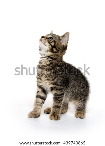 Cute baby tabby kitten looking up and sitting on hind legs isolated on white background