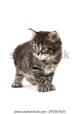 Cute baby tabby kitten standing isolated on white background
