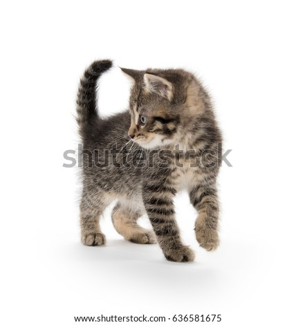 Cute baby tabby kitten walking isolated on white background