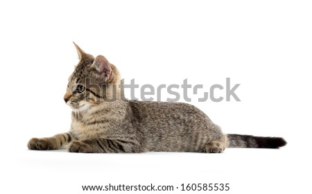 Cute baby tabby short hair kitten laying down on white background - stock photo