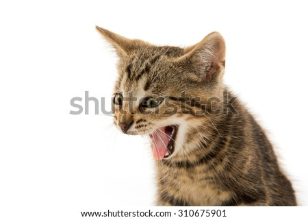 Cute baby tabby short hair kitten making a funny face on white background - stock photo
