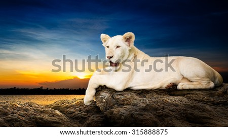 Cute baby white lion relaxation on stone at riverside in beautiful sunset background - stock photo