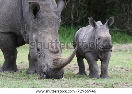 Cute baby White Rhino standing next to it's mother with large horn - stock photo
