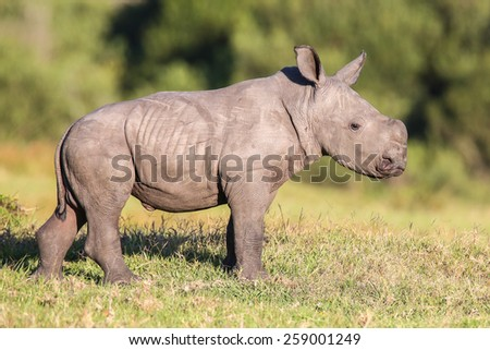 Cute baby white rhinoceros with ears pricked and alert - stock photo