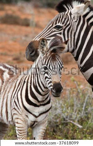 Cute baby zebra standing with it's mother