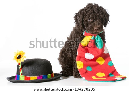 cute barbet puppy dressed up like a clown - 7 weeks old - stock photo