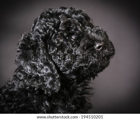 cute barbet puppy portrait on black background - stock photo