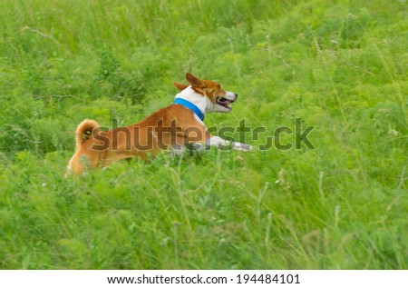 Cute basenji dog galloping in spring grass - stock photo