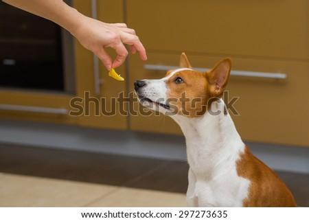 Cute basenji dog thinks about eat or not to eat lemon, this strange human food - stock photo