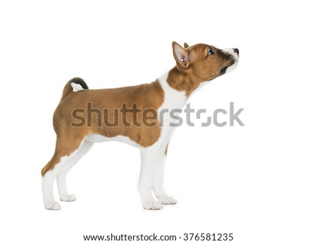 cute Basenji puppy standing on white background