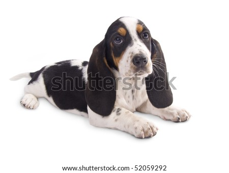 cute basset hound puppy - stock photo