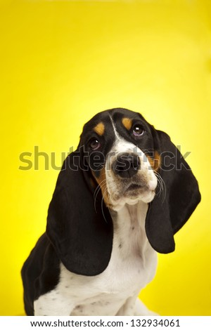 Cute Basset Hound Puppy sat on a yellow background - stock photo