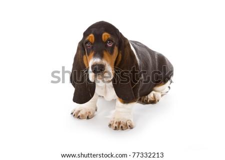 Cute basset puppy on white background - studio shot. - stock photo