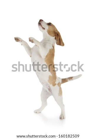 cute beagle dog isolated on white background - stock photo