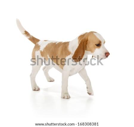 cute beagle dog isolated on white background - stock photo