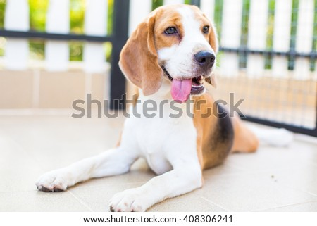 Cute beagle dog smiling portrait - close up - stock photo
