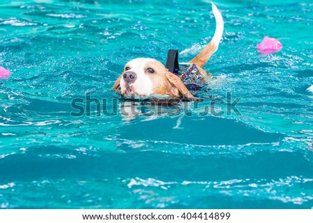 Cute beagle dog swimming in the pool - stock photo