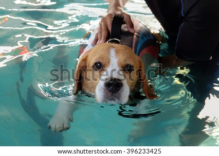 Cute beagle dog swimming with his trainer. - stock photo