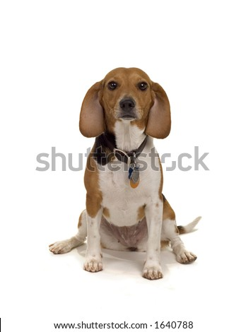 cute beagle female - typical pet dog - stock photo