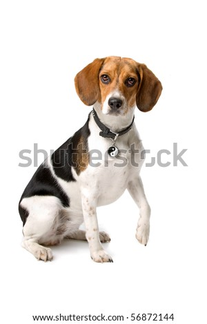 cute beagle hound sitting with the paw raised up, isolated on a white background - stock photo