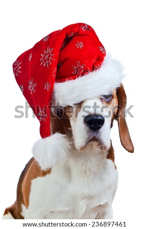 cute beagle in Santa hat isolated on white