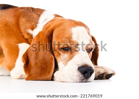 cute beagle  isolated on a white background