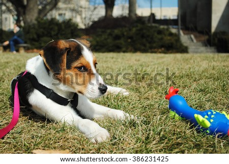 Cute Beagle Jack Russell Terrier dog laying on his side while playing with his toys on the drillfield at Virginia Tech, Blacksburg, VA in front of the War Memorial Chapel - stock photo