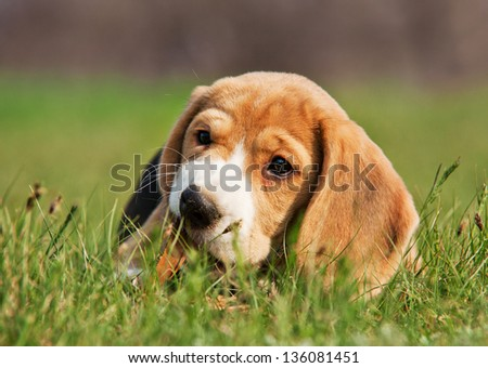 Cute Beagle puppy chewing a stick in the grass - stock photo