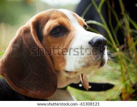 Cute beagle puppy. Closeup shot, shallow DOF. - stock photo