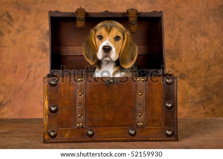 Cute Beagle puppy in chest on brown mottled background