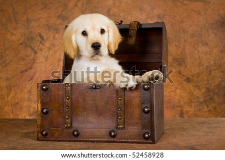 Cute Beagle puppy in wooden treasure chest