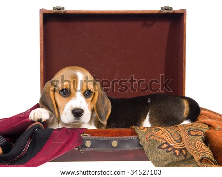 Cute Beagle puppy inside suitcase, on white background