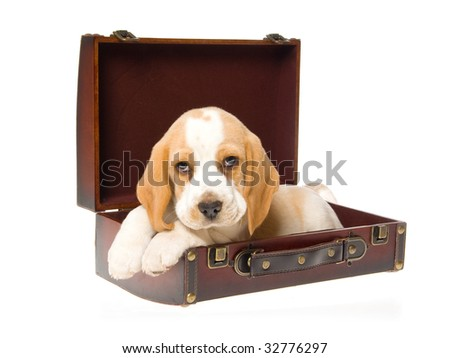 Cute Beagle puppy lying in brown suitcase, on white background